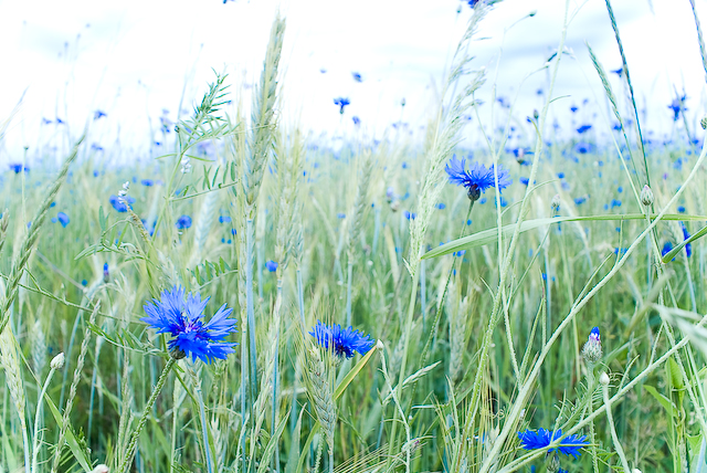 Васильковое поле